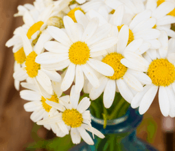 wholesale daisies